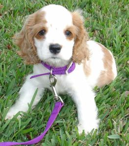 image from: http://upload.wikimedia.org/wikipedia/commons/1/12/Cocker_Spaniel_Puppy.jpg